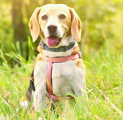 Urinary Incontinence Problems in Dogs